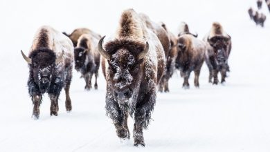 Photo of Yellowstone tijdens de winter. Dit wil je meemaken!
